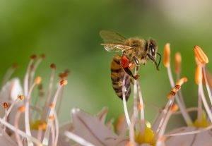 Les Abeilles et leurs Nectars…