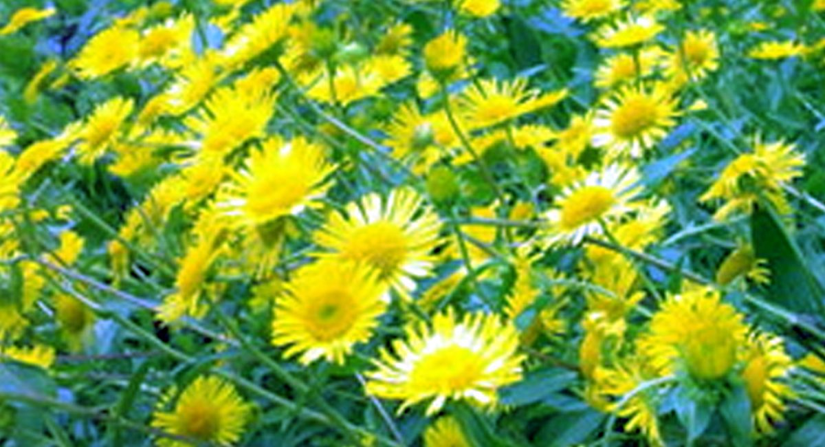 chrysanthellum