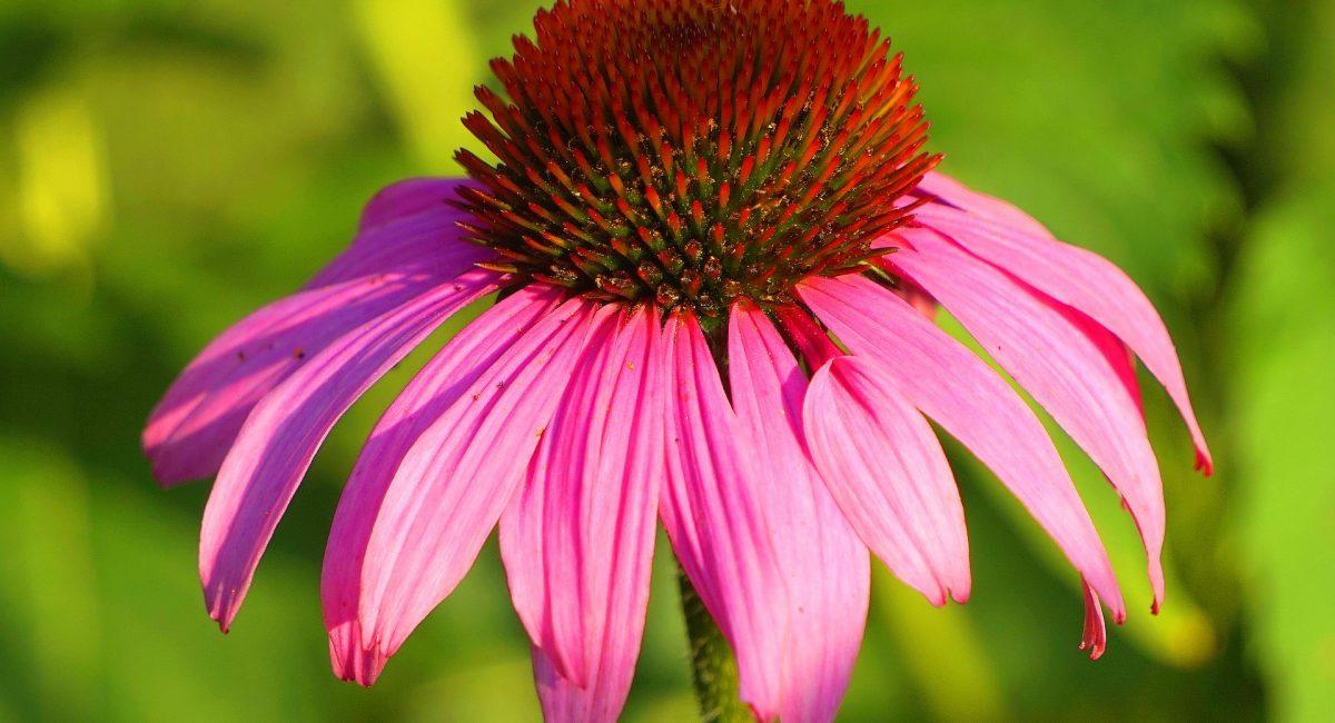 echinacea-3534227_1920