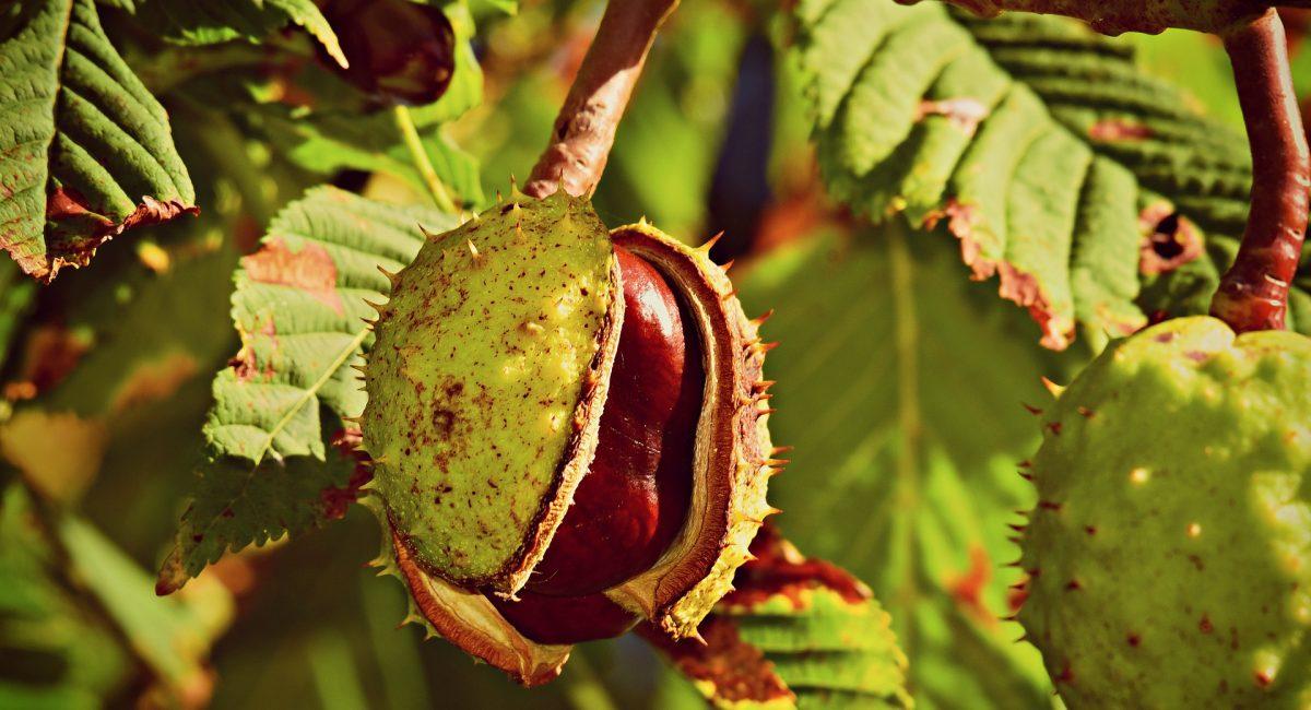 horse-chestnut-3689820_1920